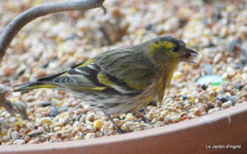les oiseaux sur terrasse 067.JPG