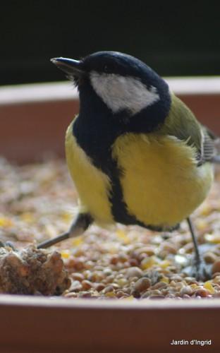oiseaux,poules,plantes janvier 145.JPG