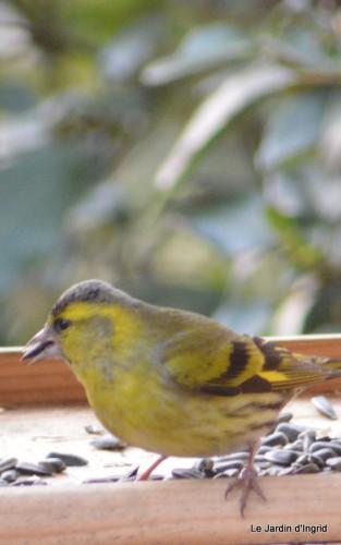 les oiseaux sur terrasse 025.JPG