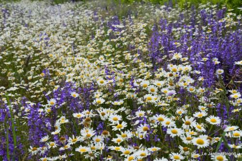 canal,fleurs blanches,marguerites,LE FLEIX,osier 029.JPG
