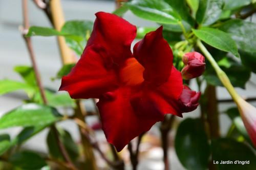 fleurs bleues,hortensia bleu,moi bébé 052.JPG