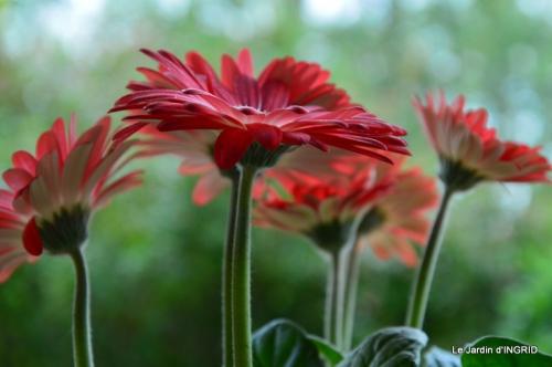 jardin,les filles,gerbera,Lalinde 040.JPG