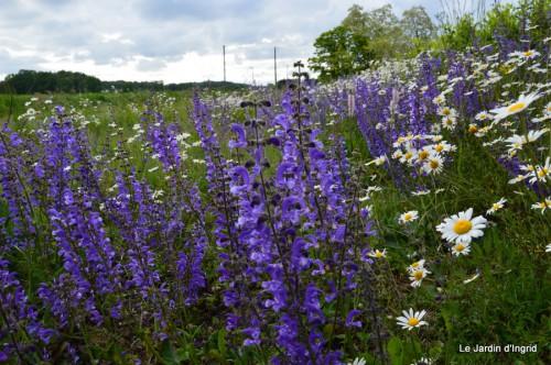 canal,fleurs blanches,marguerites,LE FLEIX,osier 024.JPG