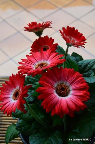 jardin,les filles,gerbera,Lalinde 039.JPG