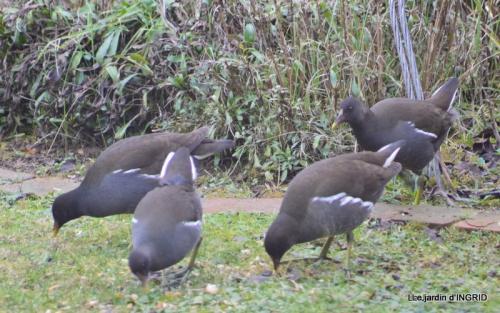 les oiseaux,les poules d'eau 153.JPG