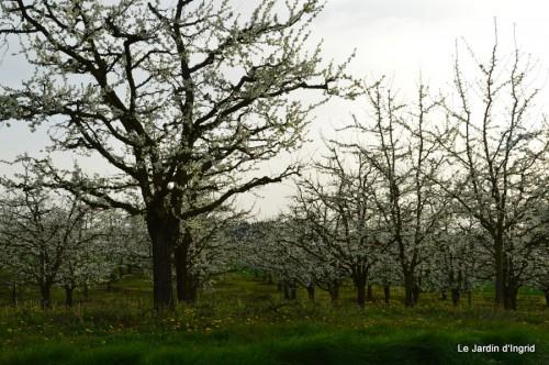 pruniers,jacinthes,jonquilles 002.JPG