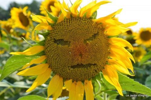 tournesols,pt jardin,nénuphard,libellules,lavande bouquet,carava 007.JPG