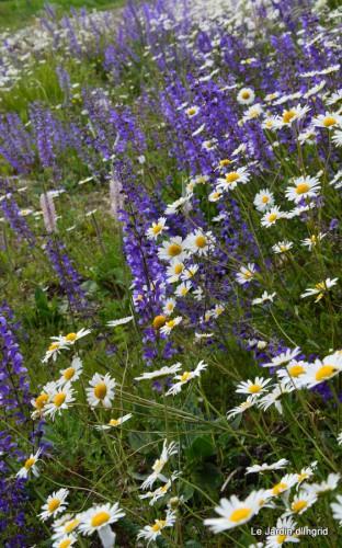 canal,fleurs blanches,marguerites,LE FLEIX,osier 025.JPG
