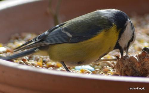oiseaux,poules,plantes janvier 140.JPG