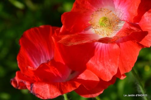 Cadouin,ancolies,roses,pollen,osier,photos Fabien,coquelicots 183.JPG