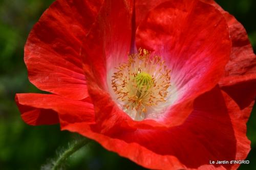 Cadouin,ancolies,roses,pollen,osier,photos Fabien,coquelicots 186.JPG