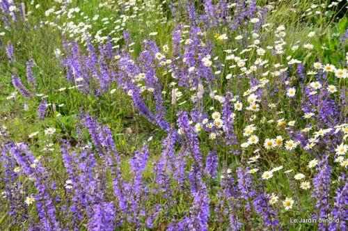canal,fleurs blanches,marguerites,LE FLEIX,osier 021.JPG