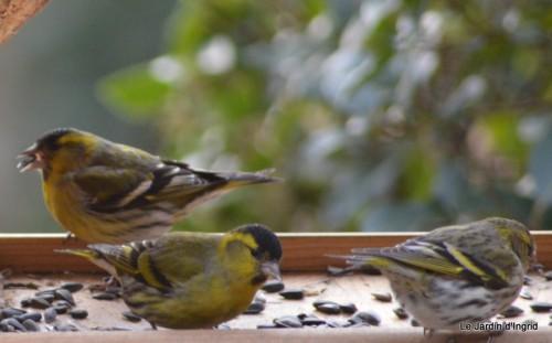 les oiseaux sur terrasse 045.JPG