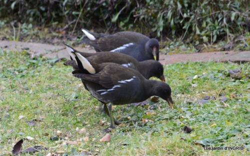 les oiseaux,les poules d'eau 150.JPG