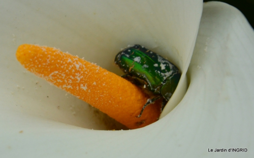 Roses du jardin,soirée Monpazier,puces Eymet 179.JPG