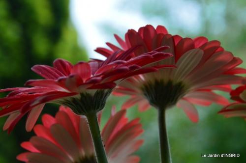 jardin,les filles,gerbera,Lalinde 041.JPG