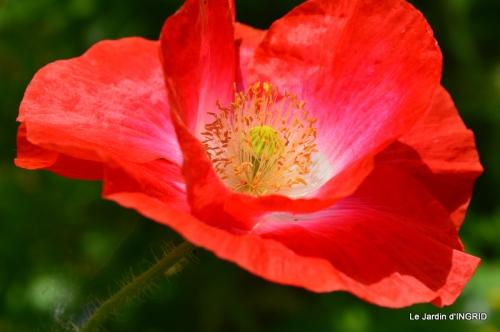 Cadouin,ancolies,roses,pollen,osier,photos Fabien,coquelicots 185.JPG
