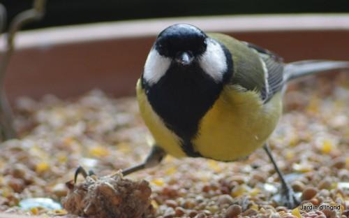 oiseaux,poules,plantes janvier 146.JPG