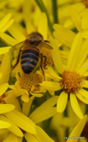 abeille,arnica