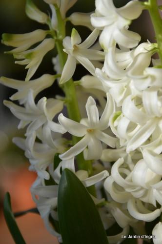 bouquet mamy,jacinthes,semis,jardin 025.JPG
