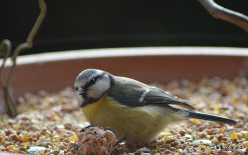 oiseaux,poules,plantes janvier 122.JPG
