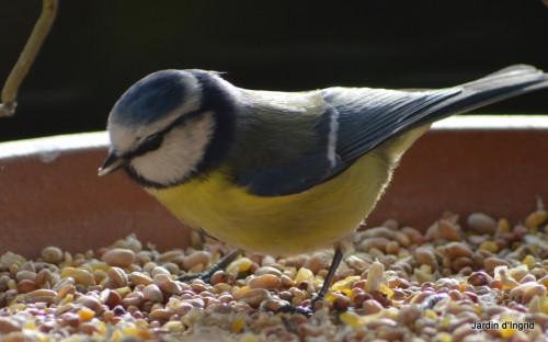 oiseaux,poules,plantes janvier 138.JPG