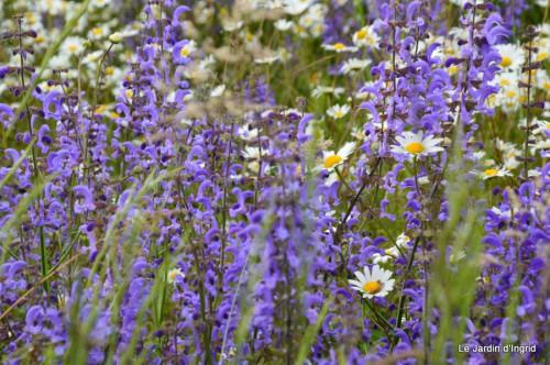 canal,fleurs blanches,marguerites,LE FLEIX,osier 033.JPG