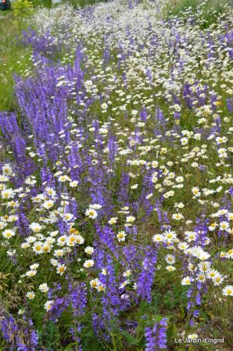 canal,fleurs blanches,marguerites,LE FLEIX,osier 030.JPG